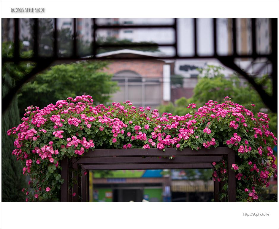 20150515rose16.jpg