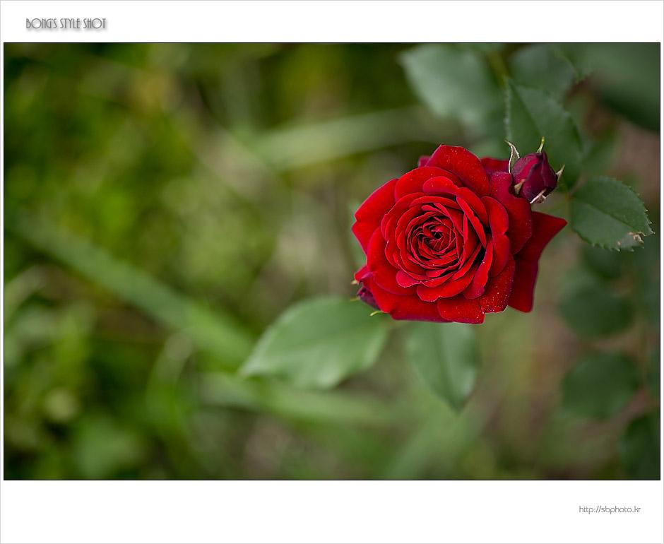 20150515rose2.jpg