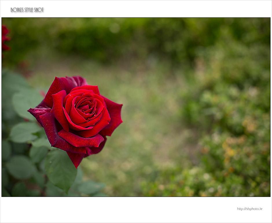 20150515rose1.jpg