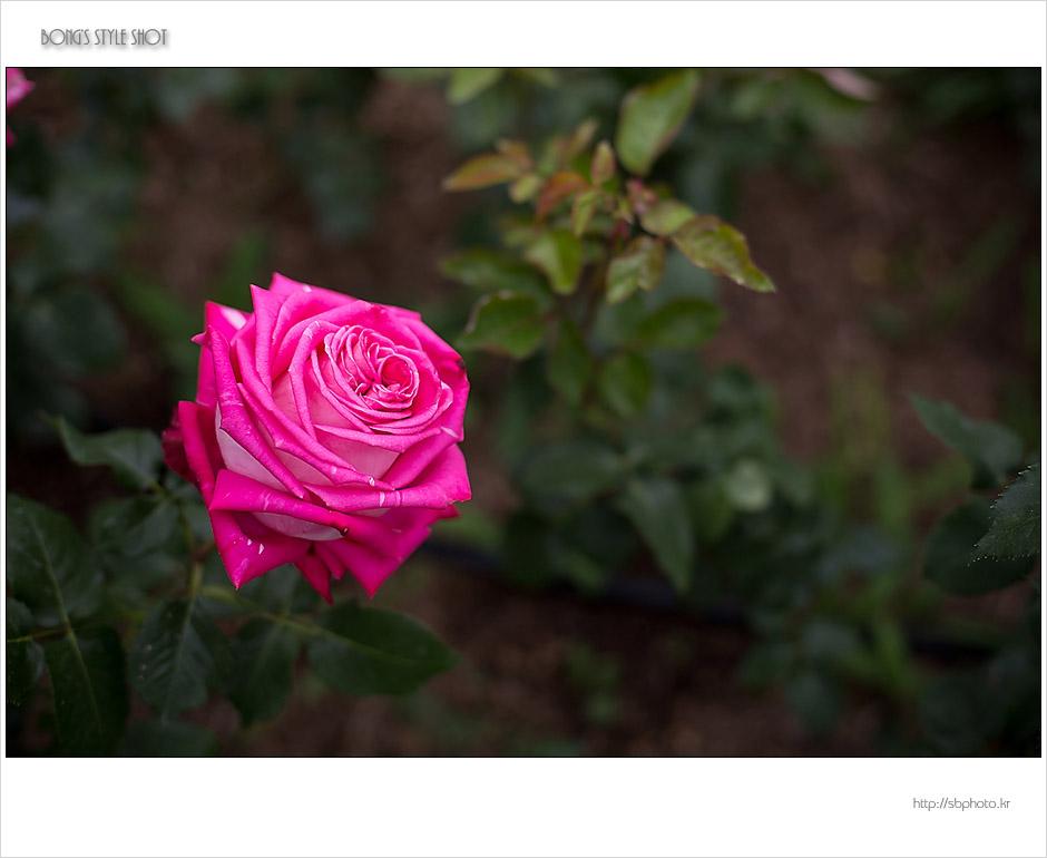 20150515rose8.jpg