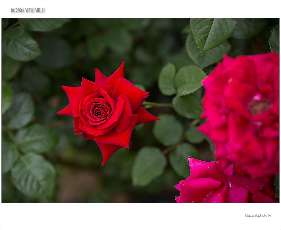 20150515rose5.jpg